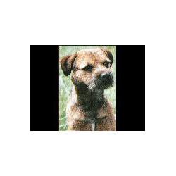 Border Terrier Glossy kaart
