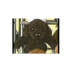 Labrador Retriever zwart...